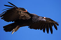 /images/133/2014-08-17-gc-condor-6944-1dx_6892.jpg - #12160: California Condor in Grand Canyon … August 2014 -- Grand Canyon, Arizona