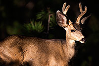 /images/133/2014-08-18-gc-deer-1dx_8913.jpg - 12169: Deer in Grand Canyon … August 2014 -- Grand Canyon, Arizona