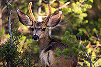 /images/133/2014-08-30-gc-deer-1dx_0209.jpg - 12184: Mule Deer in Grand Canyon … August 2014 -- Grand Canyon, Arizona