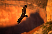 /images/133/2014-09-01-gc-vultures-1dx_2787.jpg - #12200: Vulture in flight in evening light at Grand Canyon … September 2014 -- Grand Canyon, Arizona