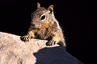 /images/133/2014-09-14-gc-squirrels-1dx_5756.jpg - 12209: Squirrels in Grand Canyon … Sept 2014 -- Grand Canyon, Arizona