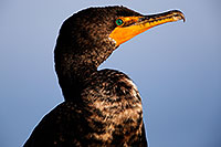 /images/133/2015-01-19-lajolla-cormorants-1dx_2809.jpg - #12395: Cormorant in California … January 2015 -- La Jolla, California