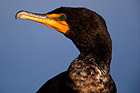 /images/133/2015-01-19-lajolla-cormorants-1dx_2890.jpg - #12396: Cormorant in California … January 2015 -- La Jolla, California
