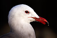 /images/133/2015-01-19-lajolla-seagulls-1dx_2599.jpg - #12403: Seagull in California … January 2015 -- La Jolla, California