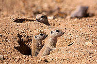 /images/133/2015-05-08-creatures-31-44-5d3_0233.jpg - #12405: Round Tailed Ground Squirrels in Tucson … May 2015 -- Tucson, Arizona