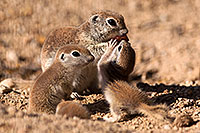 /images/133/2015-05-08-creatures-46-51-5d3_0652.jpg - #12406: Round Tailed Ground Squirrels in Tucson … May 2015 -- Tucson, Arizona