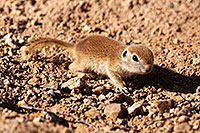/images/133/2015-05-08-creatures-5d3_0767.jpg - #12407: Round Tailed Ground Squirrels in Tucson … May 2015 -- Tucson, Arizona