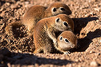 /images/133/2015-05-08-creatures-5d3_1052.jpg - #12408: Round Tailed Ground Squirrels in Tucson … May 2015 -- Tucson, Arizona