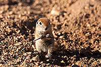 /images/133/2015-05-08-creatures-5d3_1232.jpg - #12411: Round Tailed Ground Squirrels in Tucson … May 2015 -- Tucson, Arizona