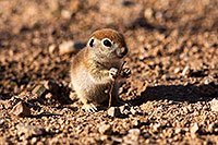 /images/133/2015-05-08-creatures-5d3_1267.jpg - #12413: Round Tailed Ground Squirrels in Tucson … May 2015 -- Tucson, Arizona
