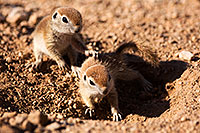 /images/133/2015-05-08-creatures-767-5d3_0859.jpg - #12413: Round Tailed Ground Squirrels in Tucson … May 2015 -- Tucson, Arizona
