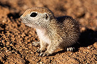 /images/133/2015-05-09-creatures-5d3_0476.jpg - #12414: Round Tailed Ground Squirrels in Tucson … May 2015 -- Tucson, Arizona