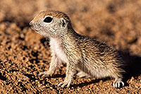 /images/133/2015-05-09-creatures-5d3_0486.jpg - #12416: Round Tailed Ground Squirrels in Tucson … May 2015 -- Tucson, Arizona