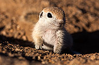 /images/133/2015-05-09-creatures-5d3_0529.jpg - #12417: Round Tailed Ground Squirrels in Tucson … May 2015 -- Tucson, Arizona