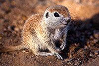 /images/133/2015-05-09-creatures-5d3_0556.jpg - #12418: Round Tailed Ground Squirrels in Tucson … May 2015 -- Tucson, Arizona