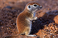 /images/133/2015-05-09-creatures-5d3_0578.jpg - #12419: Round Tailed Ground Squirrels in Tucson … May 2015 -- Tucson, Arizona