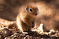 /images/133/2015-05-09-creatures-5d3_1687.jpg - #12419: Round Tailed Ground Squirrels in Tucson … May 2015 -- Tucson, Arizona