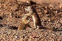 /images/133/2015-05-10-creatures-2fig-5d3_1170.jpg - #12421: Round Tailed Ground Squirrels in Tucson … May 2015 -- Tucson, Arizona