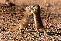 /images/133/2015-05-10-creatures-2fig-5d3_1179.jpg - #12421: Round Tailed Ground Squirrels in Tucson … May 2015 -- Tucson, Arizona