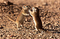 /images/133/2015-05-10-creatures-2fig-5d3_1181.jpg - #12422: Round Tailed Ground Squirrels in Tucson … May 2015 -- Tucson, Arizona