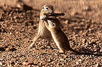 /images/133/2015-05-10-creatures-2fig-5d3_1184.jpg - #12423: Round Tailed Ground Squirrels in Tucson … May 2015 -- Tucson, Arizona
