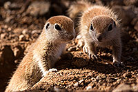 /images/133/2015-05-10-creatures-47-5d3_0754.jpg - #12424: Round Tailed Ground Squirrels in Tucson … May 2015 -- Tucson, Arizona