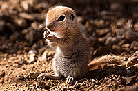 /images/133/2015-05-10-creatures-5d3_0833.jpg - #12425: Round Tailed Ground Squirrels in Tucson … May 2015 -- Tucson, Arizona