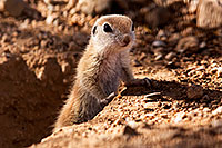/images/133/2015-05-10-creatures-5d3_0885.jpg - #12426: Round Tailed Ground Squirrels in Tucson … May 2015 -- Tucson, Arizona