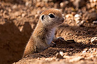 /images/133/2015-05-10-creatures-5d3_0911.jpg - #12427: Round Tailed Ground Squirrels in Tucson … May 2015 -- Tucson, Arizona