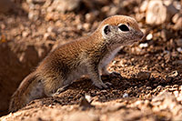 /images/133/2015-05-10-creatures-5d3_0914.jpg - #12429: Round Tailed Ground Squirrels in Tucson … May 2015 -- Tucson, Arizona