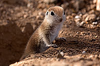 /images/133/2015-05-10-creatures-5d3_0920.jpg - #12430: Round Tailed Ground Squirrels in Tucson … May 2015 -- Tucson, Arizona
