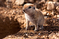 /images/133/2015-05-10-creatures-5d3_0923.jpg - #12431: Round Tailed Ground Squirrels in Tucson … May 2015 -- Tucson, Arizona