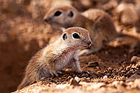 /images/133/2015-05-10-creatures-5d3_0941.jpg - #12432: Round Tailed Ground Squirrels in Tucson … May 2015 -- Tucson, Arizona