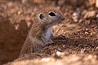 /images/133/2015-05-10-creatures-5d3_0953.jpg - #12433: Round Tailed Ground Squirrels in Tucson … May 2015 -- Tucson, Arizona