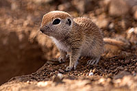 /images/133/2015-05-10-creatures-5d3_0957.jpg - #12435: Round Tailed Ground Squirrels in Tucson … May 2015 -- Tucson, Arizona