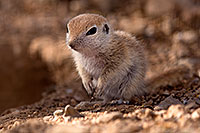 /images/133/2015-05-10-creatures-5d3_0992.jpg - #12435: Round Tailed Ground Squirrels in Tucson … May 2015 -- Tucson, Arizona
