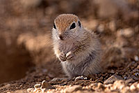/images/133/2015-05-10-creatures-5d3_0994.jpg - #12437: Round Tailed Ground Squirrels in Tucson … May 2015 -- Tucson, Arizona