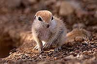 /images/133/2015-05-10-creatures-5d3_1038.jpg - #12437: Round Tailed Ground Squirrels in Tucson … May 2015 -- Tucson, Arizona