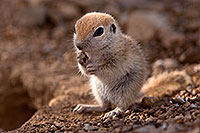 /images/133/2015-05-10-creatures-5d3_1071.jpg - #12438: Round Tailed Ground Squirrels in Tucson … May 2015 -- Tucson, Arizona