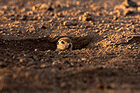 /images/133/2015-05-10-creatures-5d3_1614.jpg - #12440: Round Tailed Ground Squirrels in Tucson … May 2015 -- Tucson, Arizona