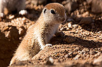 /images/133/2015-05-10-creatures-5d3_747.jpg - #12441: Round Tailed Ground Squirrels in Tucson … May 2015 -- Tucson, Arizona