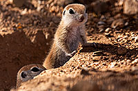 /images/133/2015-05-10-creatures-5d3_878.jpg - #12442: Round Tailed Ground Squirrels in Tucson … May 2015 -- Tucson, Arizona
