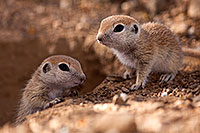 /images/133/2015-05-10-creatures-60-5d3_0966.jpg - #12443: Round Tailed Ground Squirrels in Tucson … May 2015 -- Tucson, Arizona