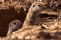 /images/133/2015-05-10-creatures-98-5d3_0896.jpg - #12443: Round Tailed Ground Squirrels in Tucson … May 2015 -- Tucson, Arizona