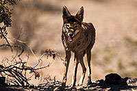 /images/133/2015-05-31-dv-coyote-1dx_0782.jpg - #12445: Coyote in Death Valley, California … May 2015 -- Death Valley, California