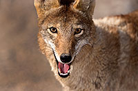 /images/133/2015-05-31-dv-coyote-1dx_0967.jpg - #12446: Coyote in Death Valley, California … May 2015 -- Death Valley, California