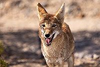 /images/133/2015-05-31-dv-coyote-1dx_0986.jpg - #12447: Coyote in Death Valley, California … May 2015 -- Death Valley, California