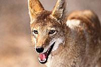 /images/133/2015-05-31-dv-coyote-1dx_1011.jpg - #12449: Coyote in Death Valley, California … May 2015 -- Death Valley, California