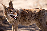 /images/133/2015-05-31-dv-coyote-1dx_1128.jpg - #12450: Coyote in Death Valley, California … May 2015 -- Death Valley, California