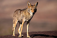 /images/133/2015-05-31-dv-coyote-1dx_1285.jpg - #12451: Coyote in Death Valley, California … May 2015 -- Death Valley, California